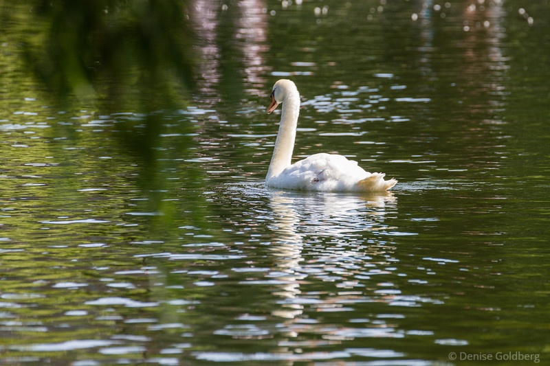 swan in motion, heading away