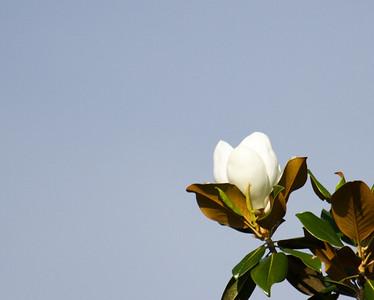 Magnolia Tree Blossom 3