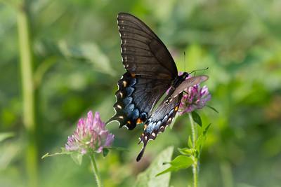 Female Tiger Swallowtail 2
