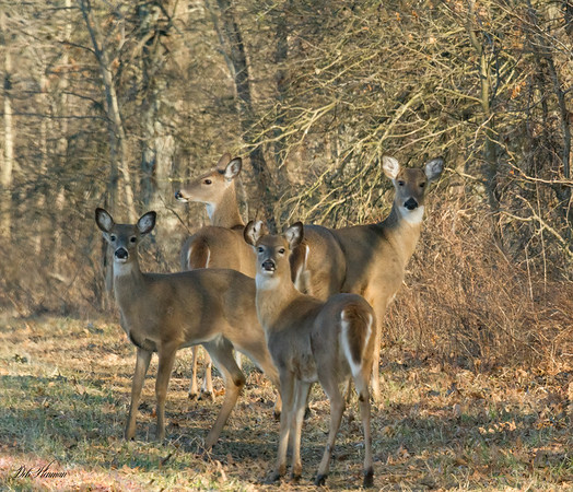 4 White Tail Deer in Bailey's Wetlands in So Illinois