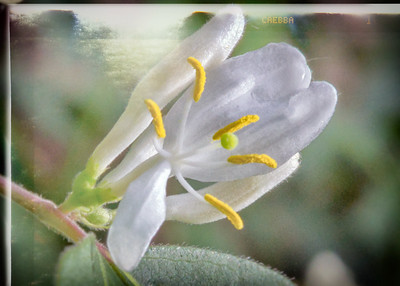 Wild White Orchid