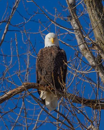autogr adj eagle in tree str on