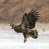 Immature Eagle Landing at  Sunset Marina-2333