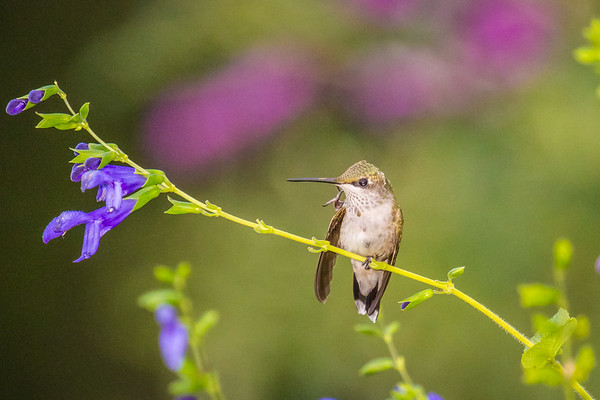 hummingbird scratch Sep 1 2016-1