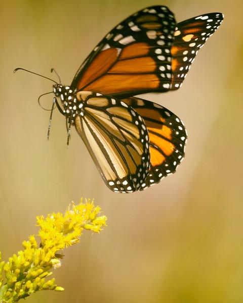 Monarch Lift Off