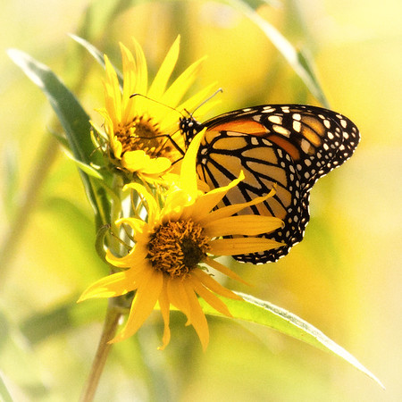 Monarch on Yellow Sunflowers