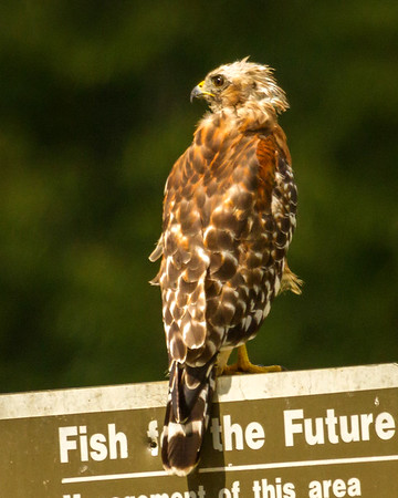 Red Shouldered Hawk on Sign