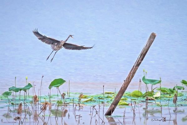 Blue Heron Landing at Noxubee