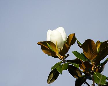 Magnolia Tree Blossom 2