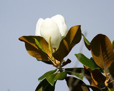 Magnolia Tree Blossom 1