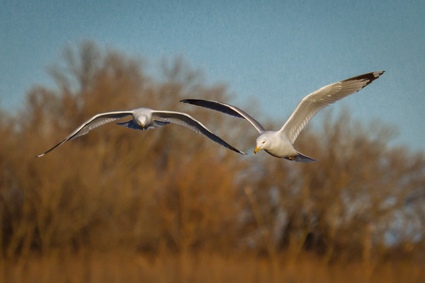 Le Claire IA, Mississippi river, 2016, wildlife, birds, -7658
