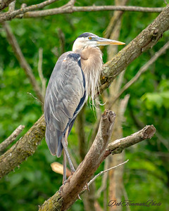 Great Blue Heron at Crab Orchard National Wildlife Reserve 2019