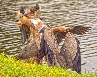 Blue Herons Scuffle