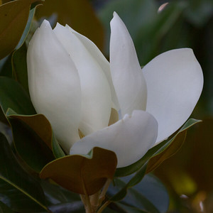 Magnolia Blossom Perfection