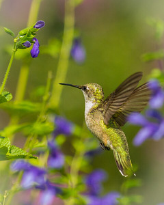 Hummingbird in Flight with Purple Flowers