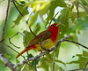 Summer Tanager Perched