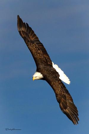 Eagle Flight in Iowa