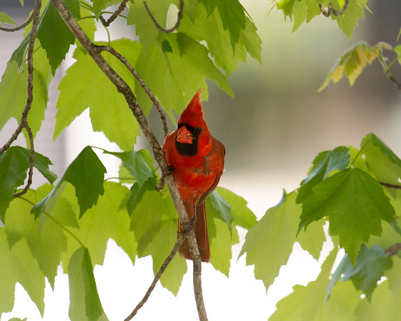 Male Cardinal in Leaves