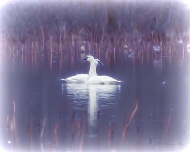 Topaz Swans