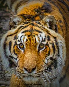 siberian Tiger lemur  -7823