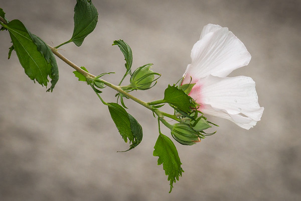 Rose of Sharon on Gray