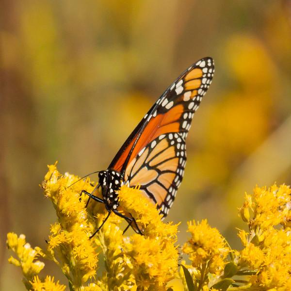 monarch on yellow n orange-1280_1