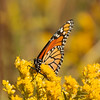 Monarch on Yellow Wildflowers