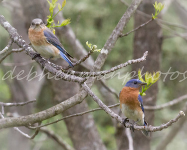 Bluebird Pair at Forbes State Park in Spring