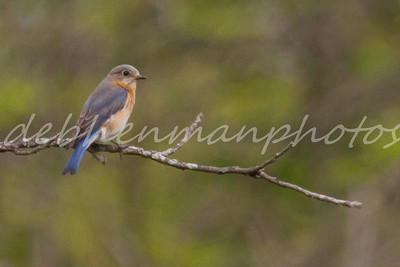 Bluebird on a Limb