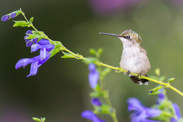 Hummer on Purple Flower