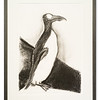 Limited edition print of original pencil artwork of a Garefowl (Great Auk) by Catherine Yeatman