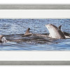 Photograph of Dolphins taken near Chanonry Point, Scotland