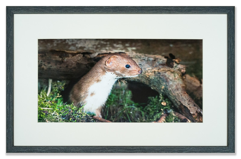 Stoat photographed by Andrew Whisken of The Mountain Ash Gallery, Scotland