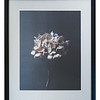 Still Life 04 (Hydrangea) by Danish photographer Pia Winther.
