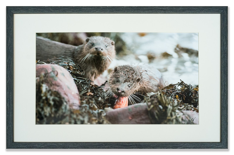 Otter photographed by Andrew Whisken of The Mountain Ash Gallery, Scotland