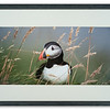 Puffin photographed by Andrew Whisken of The Mountain Ash Gallery, Scotland