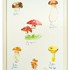Watercolour of Mushrooms