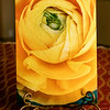 Yellow Ranunculus 146 Printed on Metal