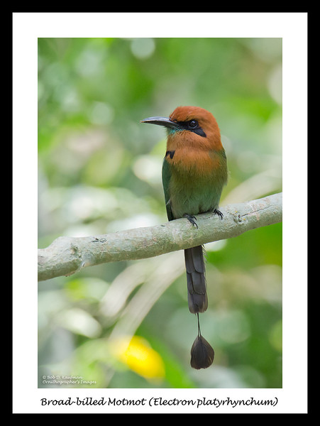 Broad-billed Motmot