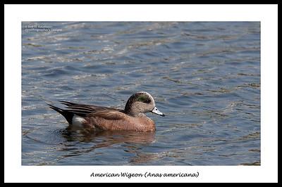 American Wigeon