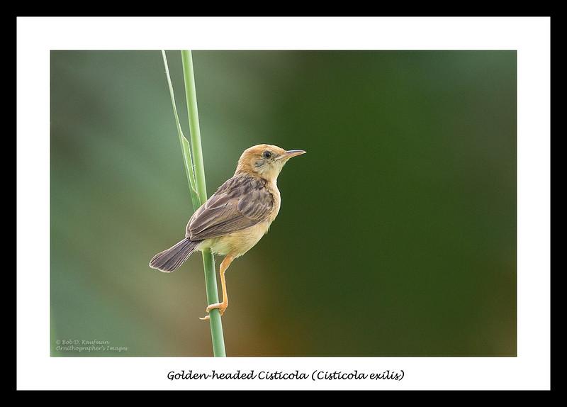 Golden-headed Cisticola