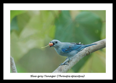 Blue-grey Tanager