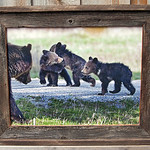 """Grizzly Family, 18x24"""""""