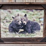 Grizzly Cubs, 12x18""