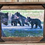 """Grizzly Family, 12x18"""""""