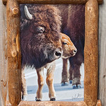 Bison and Calf, Split Log Frame,  18x24""