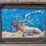 """Bull Elk Sitting, 12x18"""""""