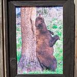"Bear Scratching on Tree, 12x18"""