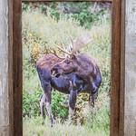 "Bull Moose, 20x30"""