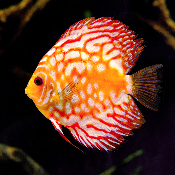 Orange Fish_w